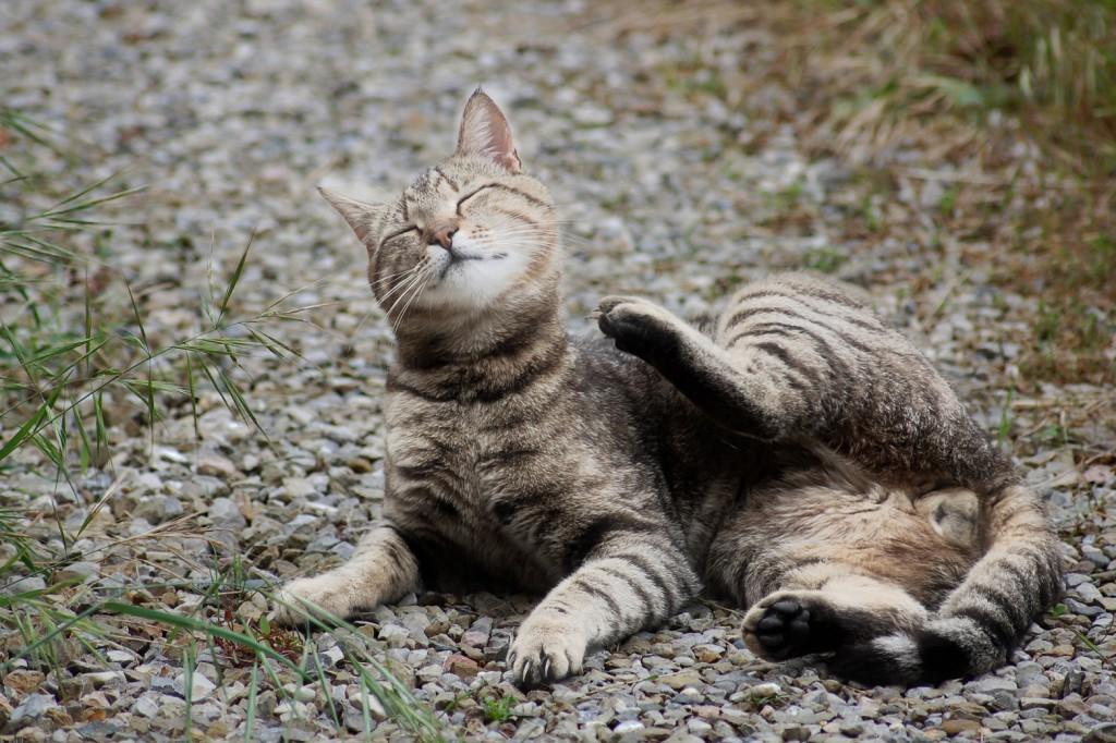 gatto-prurito