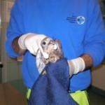19 dicembre 2011: un amazzone e un gheppio salvi grazie a ENPA Milano