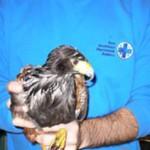 4 gennaio 2012: Recuperato un falco di Harris da ENPA Milano