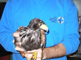 falco di harris recuperato da ENPA Milano