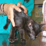 Un altro gattino incastrato in un auto, salvato dall'ENPA in pieno centro a Milano