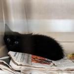 Salvataggio di un gattino a Milano incastrato nel cofano di un auto
