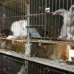 L'atroce sofferenza che crea la produzione di lana d'angora, strappata dai conigli ancora vivi e ben coscienti