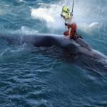 Stop al Giappone sulla caccia alle balene!