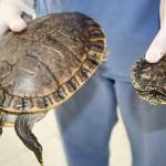 47 tartarughe di privati cittadini trasferite al Centro Ittiogenico di Perugia grazie a ENPA Milano