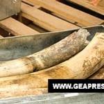 Sequestro di avorio, droga, legname e animali da Interpol, ENPA Milano si congratula per l'attenzione ai crimini ambientali