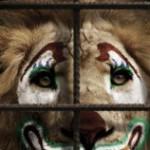 Trasferiti nel Centro di recupero per animali pericolosi i due felini sequestrati al Circo Martini