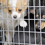 Traffico di cuccioli: le richieste non calano, Italia ed Europa stanno a guardare