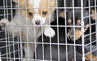 cuccioli cane puppy mills