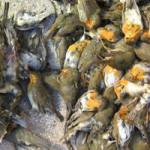 Lombardia: uccelli usati come esche vive nella caccia: i politici si attivino contro la lobby venatoria