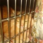 Ritrovata gatta sterilizzata a Peschiera Borromeo