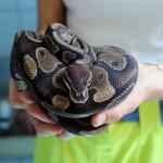 Un altro serpente recuperato e liberato da ENPA Milano