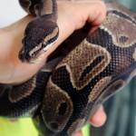 Pitone, king snake e calotes: gli ultimi arrivi in ENPA Milano
