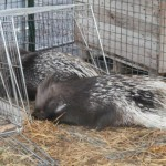 Trasferiti in un CRAS gli animali sequestrati da ENPA Milano al circo Pantera Rosa