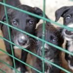 Traffico di cuccioli, come non alimentare le tratte