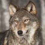 Il governo propone abbattimento lupi e cani randagi