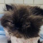 Operatori ENPA estraggono un gatto persiano da muro
