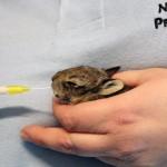 Trovati coniglietti selvatici appena nati, dovranno essere svezzati