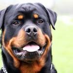 """Bimbo aggredito da rottweiler: perché è sbagliato definire un cane """"pericoloso"""""""