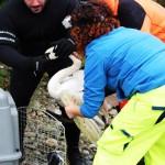 Cigno con ala lussata sul Ticino, soccorso da ENPA Milano e VVFF