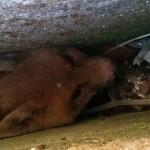 Cucciolo di volpe salvato da una fessura della strada