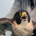 Falco pellegrino ferito a Sesto San Giovanni, consegnato a ENPA Milano