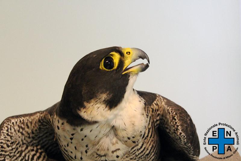 falco-5