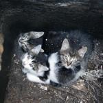Gattini nel tombino salvi grazie a operatori di ENPA Milano
