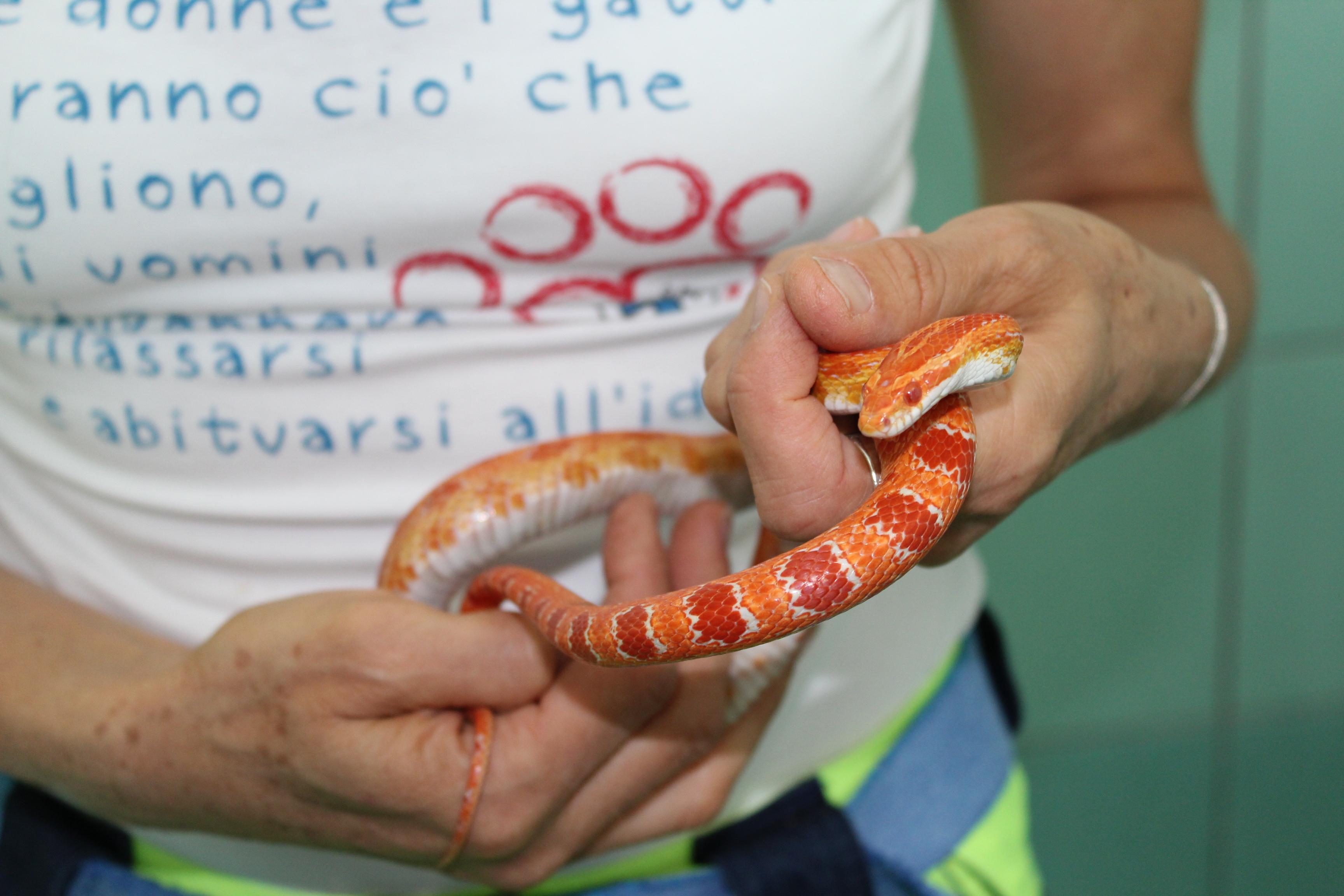 serpente-del-grano-montenapoleone