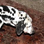 Carugate: Guardie Zoofile ENPA Milano intervengono per cane ustionato