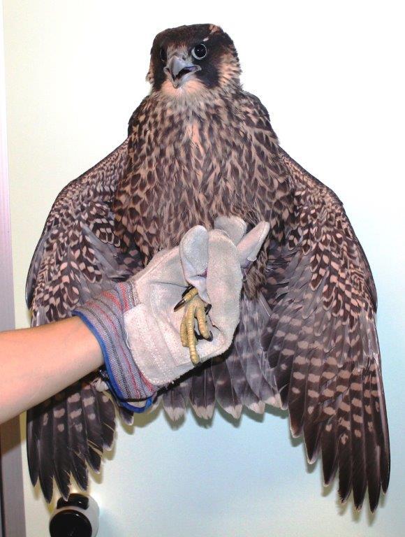 falco 12