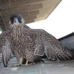Falco pellegrino recuperato e portato in ENPA, oggi riposizionato su Pirellone