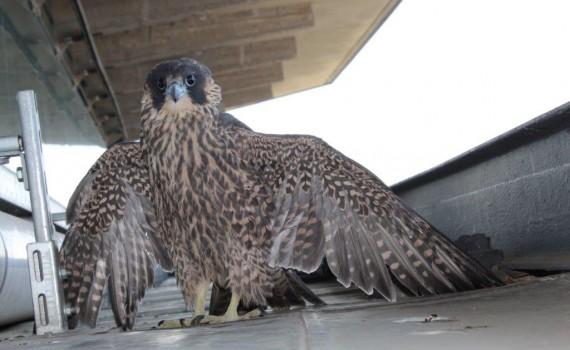 falco 28