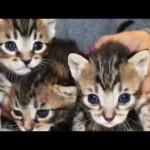 La storia del trio dei tigratini, un'avventura a lieto fine!