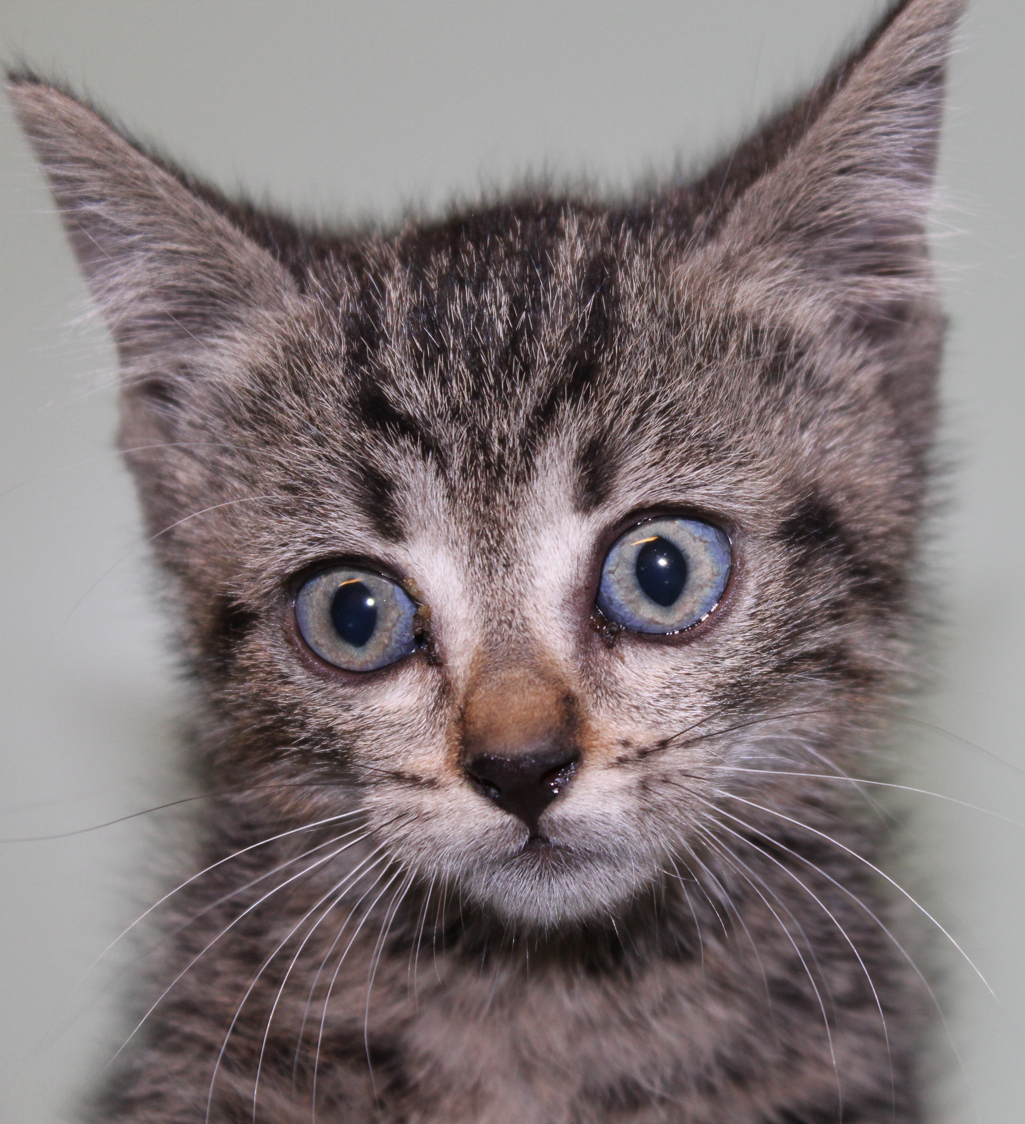 gattino 5