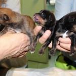 Cuccioli di cane abbandonati a Rho in una scatola, trovati e portati in ENPA da due ragazzi.