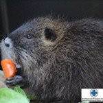 Nutrie e specie invasive: prevenire meglio che curare