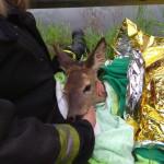 Vigili del Fuoco e operatori di ENPA Milano salvano un piccolo di capriolo caduto nel Naviglio Pavese