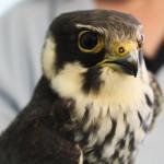 Falco pellegrino e lodolaio in difficoltà soccorsi da ENPA Milano