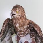 Falco pecchiaiolo in difficoltà soccorso da ENPA Milano in via dei Gracchi