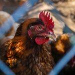 Basta gabbie per allevare gli animali in Europa. Firmate la petizione per abolire allevamenti in gabbia