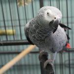 Le Guardie Zoofile di ENPA Milano sequestrano un pappagallo cenerino trovato in una palestra a Milano
