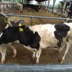 Sequestrati 66 bovini a Cascina Moretti per maltrattamento di animali