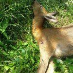 Bracconaggio: ucciso capriolo all'Oasi del WWF di Vanzago