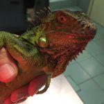 Trovata iguana in fin di vita al Monte Stella. Salva grazie al pronto intervento di ENPA Milano
