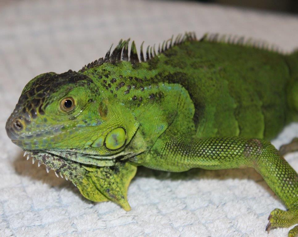 iguana 5