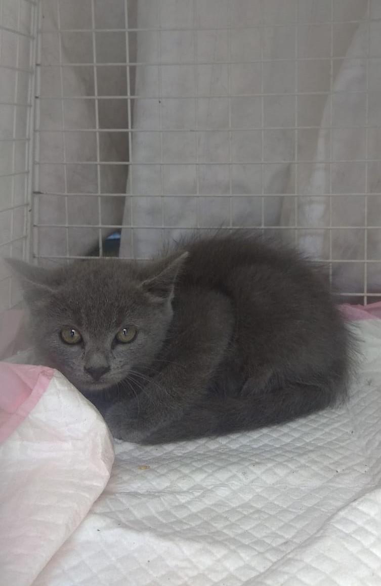 gattino 7