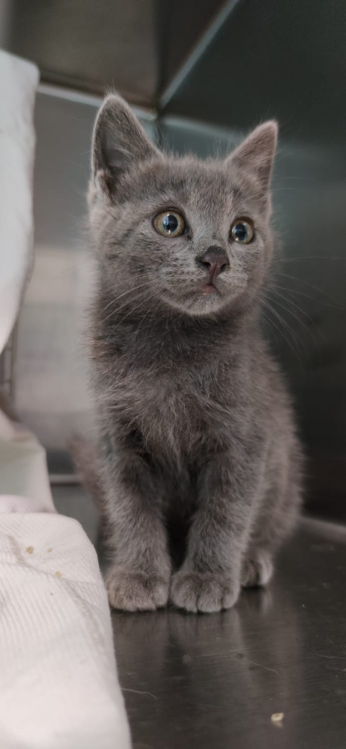 gattino 9