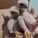 Dopo violento temporale cade a terra nido con 5 piccoli di gheppio: tutti salvi grazie a ENPA Milano