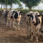 Attivato link su facebook per adozione a distanza di una vacca e 3 manzi: Luce, Micky, Sudan e Bianca.